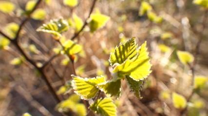 return spring cold weather: frost on green leaf
