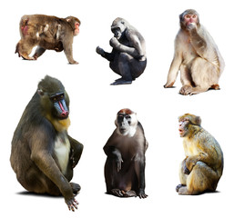 Mandrill and other Old World monkeys