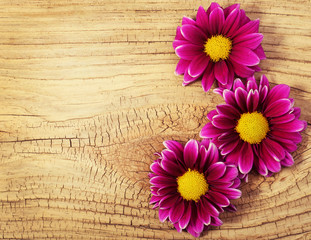 Magenta Chrysanthemums Flowers on wooden background