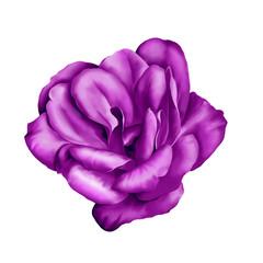 Purple Camelia Flower isolated on white background. illustration