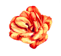 Red and orange rose flower isolated on white background
