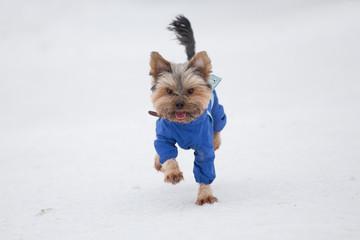 Yorkshire terrier in blue overalls runs in park