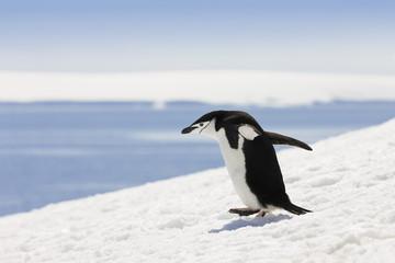 Antarctica chinstrap penguin walking in snow