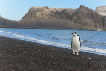 Antarctica chinstrap penguin at beach