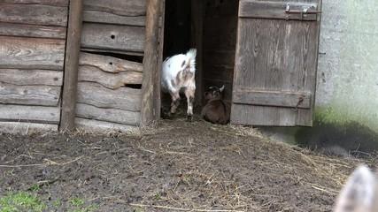 Ziege geht in Stall