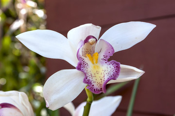 White Cymbidium closeup