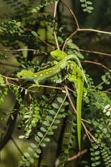 basking Wellington green geckos