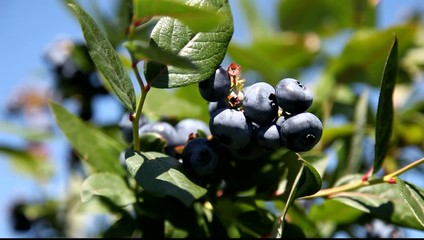 Harvest-ripe blueberries at a bush