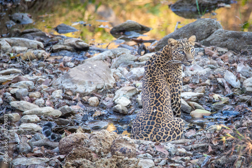 Fotobehang Luipaard Leopard cooling in a streambed