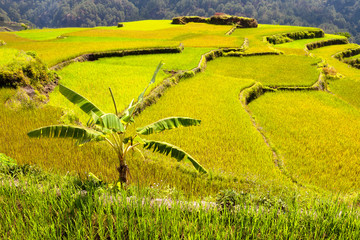 Banana Tree inbetween the rice fields
