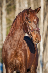 Portrait of beautiful red horse