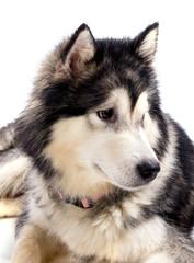 chien femelle Malamute