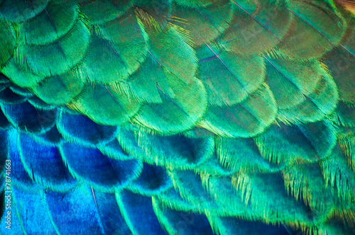 Foto op Plexiglas Pauw The beauty of the colors and designs of peacock feathers.