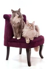 deux chats Main Coon sur un fauteuil bordeaux
