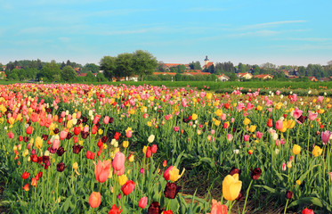 Frühlingslandschaft mit Tulpenfeld, Blumen selber pflücken