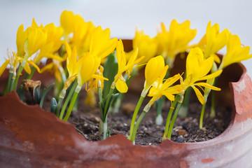 Yellow crocuses with opened flowers in garden pot