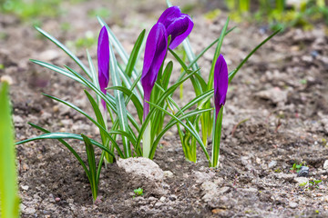 Purple crocus plant with closed flowers