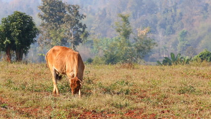 Brown cow eat grass in the field