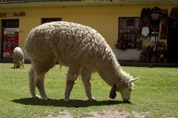 草を食むアルパカ