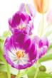 Obrazy na płótnie, fototapety, zdjęcia, fotoobrazy drukowane : Violette Tulpen