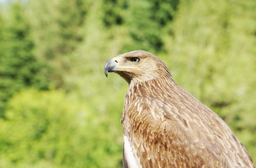 Profile of an eagle against the background of green foliage