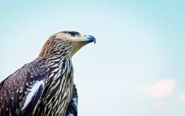 Proud profile of an eagle against the background of blue sky