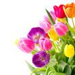 Bunter Frühlingsstrauß Tulpen Freisteller