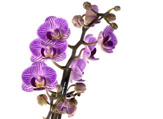 pink orchidacaea