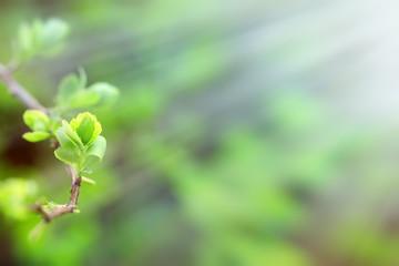 Budding spring leaves lit by sun rays (sunbeams)