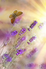 Butterfly and lavender lit by sun rays (sunbeams)