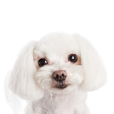Cute in front of a white background to Maltese