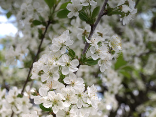cherry flowers on the branch in the grden