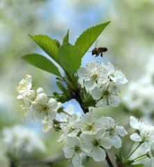 bee in cherry tree flowers