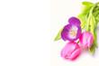 Obrazy na płótnie, fototapety, zdjęcia, fotoobrazy drukowane : Tulpen auf weißem Hintergrund