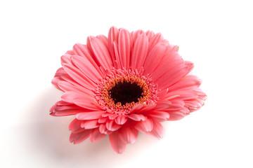 Gerber flower on white background.
