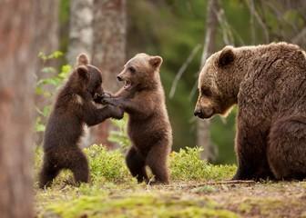 Драка Медвежат