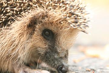 hedgehog close-up portrait