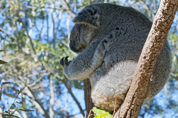 Koala relaxing on a tree