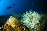 scuba diving crinoid bunaken sulawesi indonesia lamprometra sp.