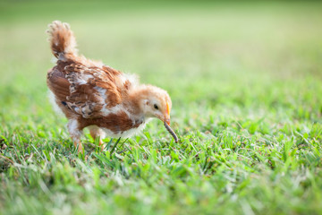 Baby Chick Eating Worm