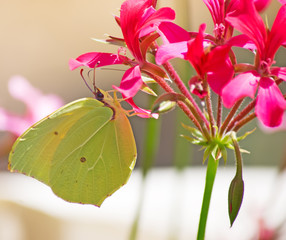 yellow butterfly on a pink flower