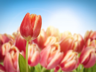 Red tulip on a flowering field