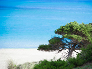 close up of a pine tree by the sea in Stintino