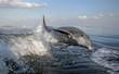 Leinwandbild Motiv Bottle Nosed Dolphin