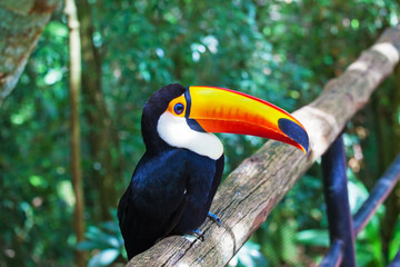 Toco toucan in zoo