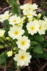 primule gialle in giardino_ primavera