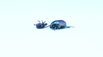 Dung beetle lying on its back background