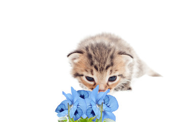 kitten sniffing flowers on a white background isolated