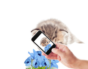 photographing kitten sniffing flowers on a white background isol