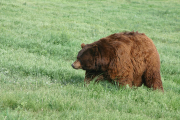World Record Obese Grizzly Bear